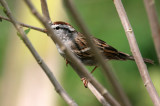 70311_404_Chipping-Sparrow.jpg