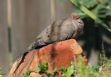70311_440_Mourning-Dove.jpg