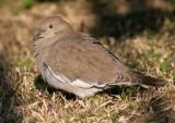70311_442_White-winged-Dove.jpg
