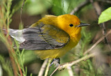 1122 - Prothonotary Warbler