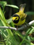 1123 - Hooded Warbler