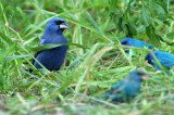 1149 - Blue Grosbeak