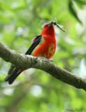 1154 - Scarlet Tanager