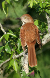 1160 - Brown Thrasher