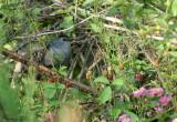 1165 - Gray Catbird
