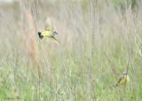 1170 - Western Kingbird