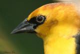 1250 - Yellow-headed Blackbird