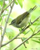 1124 - Tennessee Warbler