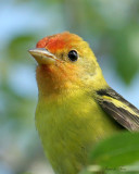 1153 - Western Tanager