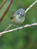 1144 - Blue-headed Vireo