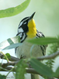 1126 - Yellow-throated Warbler