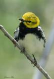 1127 - Black-throated Green Warbler