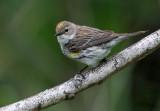 1117 - Myrtle Warbler