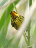 1135 - Cape May Warbler