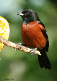 1158 - Orchard Oriole