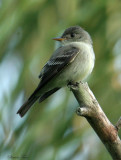 1200 - Eastern Wood-Pewee