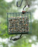 RBGR07-54-Rose-breasted-Grosbeak-Downy-Woodpecker.jpg