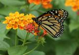 ZZAA07-12-Lantana-Monarch.jpg