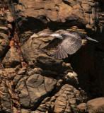 White-breasted Cormorant juv - Phalacrocorax lucides PSLR-1735.jpg