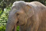 Old male elephant 2