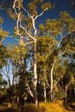 Eucalyptus trees at sunset at Ubirr Rock
