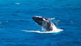 Humpback whales - baby calf doing a breach