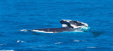 Humpback whales - mother and calf doing a breach - 2