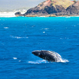 Humpback whales - baby calf doing a breach on coast of Moreton Island