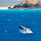 Humpback whales - baby calf doing a breach on coast of Moreton Island - 2