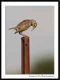 Western Meadowlark...