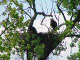 Mom  & one of three baby eagles.jpg(514)