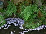 Ferns with Cherry Blossom Petals