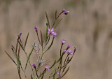 Purple Wildflower & Seeds