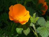 Poppy Alight