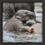 One year old Marlar of Cologne Zoo enjoying a bath
