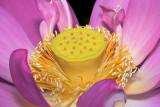 Lotus Elegance