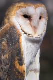 Stoic Barn Owl