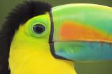 Keel-billed Toucan Close-up