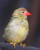 Star Finch