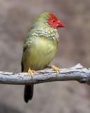Star Finch Male
