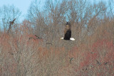 Eagle Scatters the Ducks