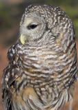 Barred Owl Posing