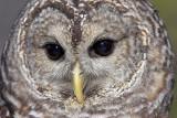 Barred Owl Close-up