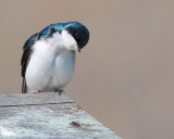 Curious Tree Swallow