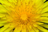 Dandelion Glory