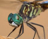 Blue Dasher Close-up