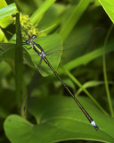 Emerald Spreadwing - Female