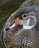 Curious Duck
