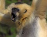 Gibbon Sings