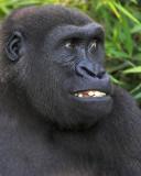 Gorilla Jokes